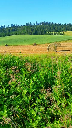 Palouse field with haybales