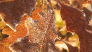 Fall leaves with frost