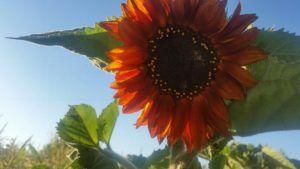 Orange sunflower