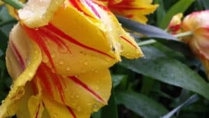 yellow tulips with red stripes in the rain