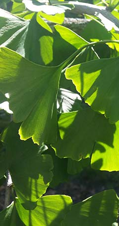Ginkgo leaves in the sunshine